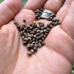 Կանեփի սերմով օճառ | Hemp Seed Soap