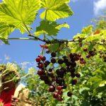 Կարմիր հաղարջի մուրաբա | Red Currant Jam